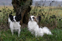 σκυλιά papillon Στοκ Φωτογραφίες