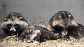 Σκυλιά Racoon στην αιχμαλωσία στοκ φωτογραφία με δικαίωμα ελεύθερης χρήσης