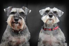 σκυλιά schnauzer Στοκ φωτογραφία με δικαίωμα ελεύθερης χρήσης