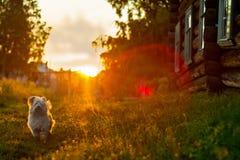 Σκυλάκι σαλονιού στο ηλιοβασίλεμα στο χωριό Στοκ εικόνα με δικαίωμα ελεύθερης χρήσης