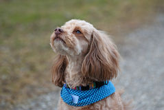 Σκυλάκι σαλονιού Στοκ φωτογραφία με δικαίωμα ελεύθερης χρήσης