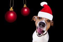 Σκυλί Άγιου Βασίλη Χριστουγέννων που απομονώνεται στο Μαύρο στοκ φωτογραφία με δικαίωμα ελεύθερης χρήσης