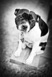 σκυλί λίγα Στοκ Εικόνες