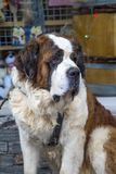 Σκυλί Αγίου Bernard Στοκ φωτογραφίες με δικαίωμα ελεύθερης χρήσης