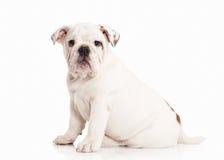 Σκυλί Αγγλικό κουτάβι μπουλντόγκ στο άσπρο υπόβαθρο Στοκ φωτογραφία με δικαίωμα ελεύθερης χρήσης