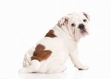 Σκυλί Αγγλικό κουτάβι μπουλντόγκ στο άσπρο υπόβαθρο Στοκ φωτογραφίες με δικαίωμα ελεύθερης χρήσης