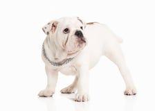 Σκυλί Αγγλικό κουτάβι μπουλντόγκ στο άσπρο υπόβαθρο Στοκ εικόνες με δικαίωμα ελεύθερης χρήσης