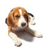 Σκυλί λαγωνικών που απομονώνεται στο λευκό Στοκ εικόνα με δικαίωμα ελεύθερης χρήσης