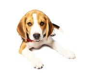 Σκυλί λαγωνικών που απομονώνεται στο λευκό Στοκ Εικόνες