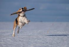 Σκυλί λαγωνικών που τρέχει στο χιόνι Στοκ φωτογραφία με δικαίωμα ελεύθερης χρήσης