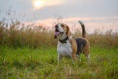 Σκυλί λαγωνικών σε ένα ηλιοβασίλεμα υποβάθρου Στοκ εικόνα με δικαίωμα ελεύθερης χρήσης