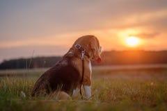 Σκυλί λαγωνικών σε ένα ηλιοβασίλεμα υποβάθρου Στοκ Εικόνες