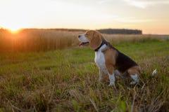 Σκυλί λαγωνικών στο ηλιοβασίλεμα σε έναν περίπατο Στοκ εικόνα με δικαίωμα ελεύθερης χρήσης