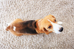 Σκυλί λαγωνικών στο μαλακό τάπητα άνωθεν Στοκ Φωτογραφίες