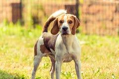Σκυλί λαγωνικών υπαίθριο Στοκ εικόνα με δικαίωμα ελεύθερης χρήσης