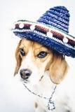 Σκυλί λαγωνικών Tricolor στο μπλε καπέλο κάουμποϋ Στοκ φωτογραφίες με δικαίωμα ελεύθερης χρήσης