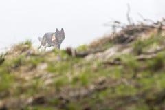 Σκυλί αναζήτησης και διάσωσης Στοκ Εικόνες