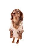 σκυλί ανασκόπησης dachshund που & Στοκ εικόνες με δικαίωμα ελεύθερης χρήσης