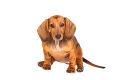 σκυλί ανασκόπησης dachshund που & Στοκ Φωτογραφίες