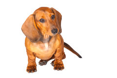 σκυλί ανασκόπησης dachshund που & Στοκ Εικόνα