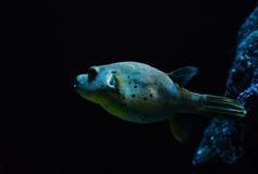 Σκυλί-αντιμέτωπα ψάρια καπνιστών Στοκ Εικόνες