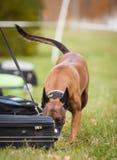 Σκυλί αστυνομίας Στοκ εικόνες με δικαίωμα ελεύθερης χρήσης