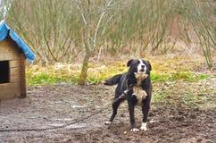 σκυλί αλυσίδων Στοκ εικόνα με δικαίωμα ελεύθερης χρήσης