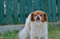 Σκυλί βαμπίρ Στοκ Φωτογραφίες