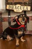 Σκυλί βαμπίρ Στοκ Εικόνες