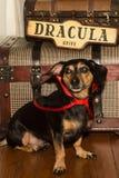 Σκυλί βαμπίρ Στοκ Φωτογραφία