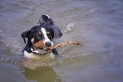 Σκυλί βοοειδών Appenzell που κολυμπά με ένα ραβδί στο στόμα της Στοκ φωτογραφία με δικαίωμα ελεύθερης χρήσης