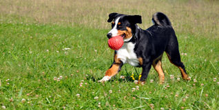 Σκυλί βοοειδών Appenzell Στοκ Φωτογραφία
