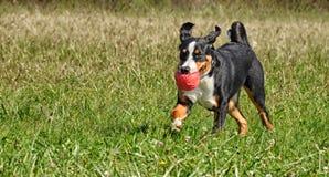 Σκυλί βοοειδών Appenzell Στοκ Φωτογραφίες