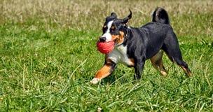 Σκυλί βοοειδών Appenzell Στοκ εικόνα με δικαίωμα ελεύθερης χρήσης