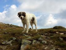 Σκυλί βουνών Στοκ φωτογραφία με δικαίωμα ελεύθερης χρήσης
