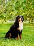 Σκυλί βουνών Bernese στη φύση στοκ εικόνα με δικαίωμα ελεύθερης χρήσης