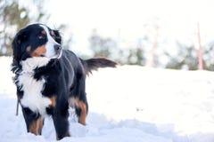 Σκυλί βουνών Bernese στο χιόνι Στοκ Φωτογραφία