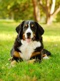 Σκυλί βουνών Bernese (Berner Sennenhund) που βρίσκεται στη χλόη στοκ φωτογραφία