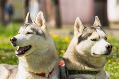 σκυλί γεροδεμένος Σιβηριανός Στοκ Εικόνες