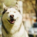 σκυλί γεροδεμένος Σιβηριανός Στοκ φωτογραφίες με δικαίωμα ελεύθερης χρήσης