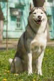 σκυλί γεροδεμένος Σιβηριανός Στοκ εικόνες με δικαίωμα ελεύθερης χρήσης