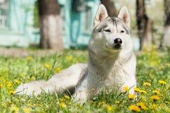 σκυλί γεροδεμένος Σιβηριανός Στοκ φωτογραφία με δικαίωμα ελεύθερης χρήσης