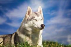 Σκυλί γεροδεμένο πορτρέτο Σιβ&e Σκυλί στο χορτοτάπητα των πικραλίδων Στοκ Φωτογραφίες