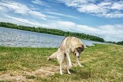 Σκυλί γεροδεμένο στη φύση στοκ φωτογραφία με δικαίωμα ελεύθερης χρήσης
