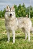 Σκυλί γεροδεμένο στη φύση Στοκ εικόνα με δικαίωμα ελεύθερης χρήσης
