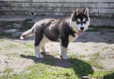 Σκυλί γεροδεμένο Στοκ Φωτογραφίες