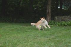 Σκυλί για να πιάσει περίπου τη σφαίρα Στοκ εικόνα με δικαίωμα ελεύθερης χρήσης