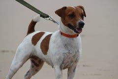 Σκυλί - γρύλος russel Στοκ Εικόνες