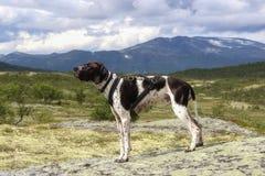 Σκυλί δεικτών Στοκ φωτογραφίες με δικαίωμα ελεύθερης χρήσης