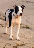 σκυλί ενδιαφερόμενο Στοκ Φωτογραφίες